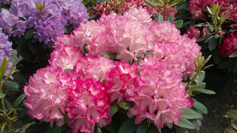 Les rhododendrons et azal es - Comment planter un rhododendron ...