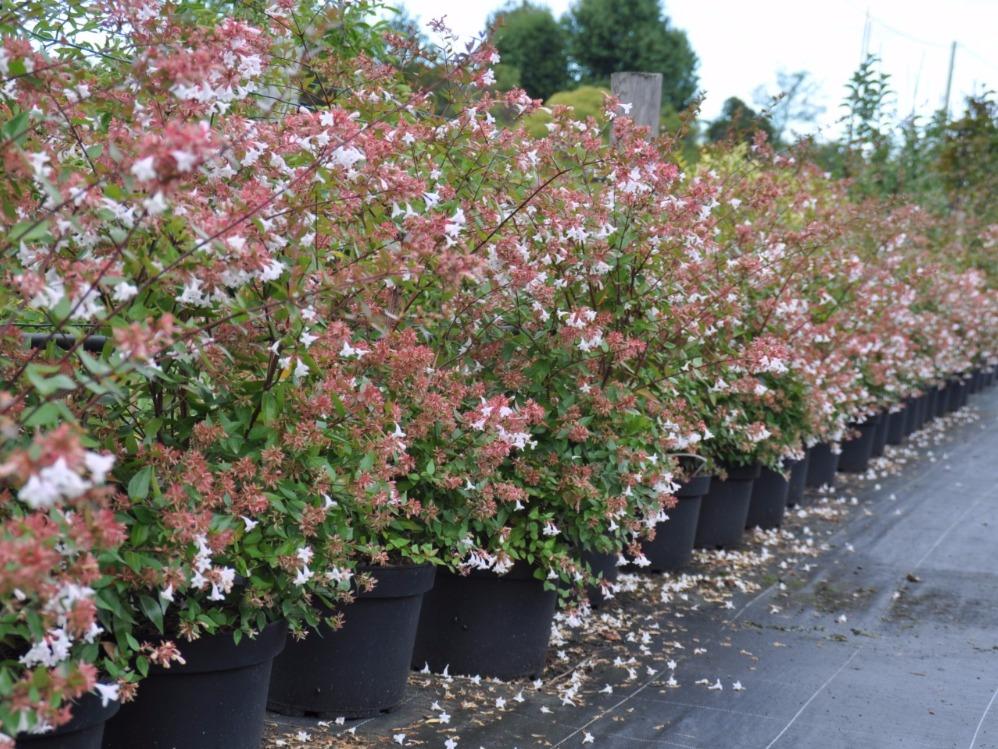 Haie de 15 arbustes fleuris vari s caducs et persistants - Arbuste persistant soleil ...