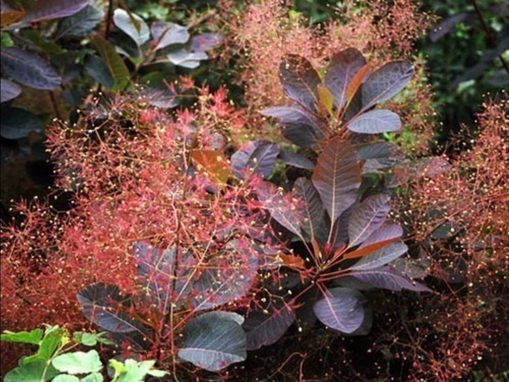 Arbuste pourpre persistant good buddleia davidii upink delightu arbre papillons u with arbuste - Arbre a feuille rouge persistant ...