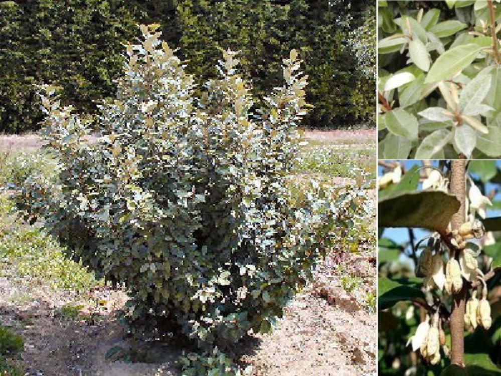 Haie de 15 arbustes mellif res - Arbuste fleurs blanches feuillage persistant ...