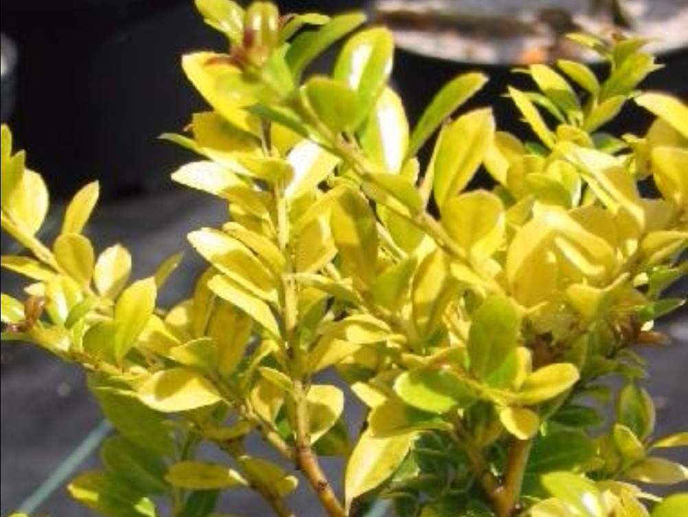 Haie basse de 10 arbustes feuillage persistant for Plante persistante