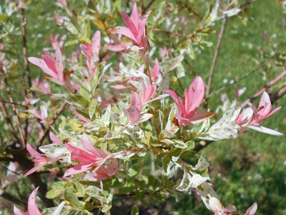 Haie fleurie de 15 arbustes feuillage caduc - Puceron blanc plante verte ...