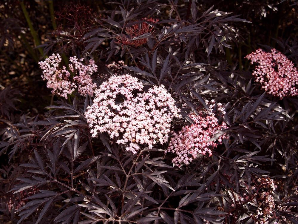 Haie de 15 arbustes fleuris vari s caducs et persistants - Arbuste feuillage pourpre ...