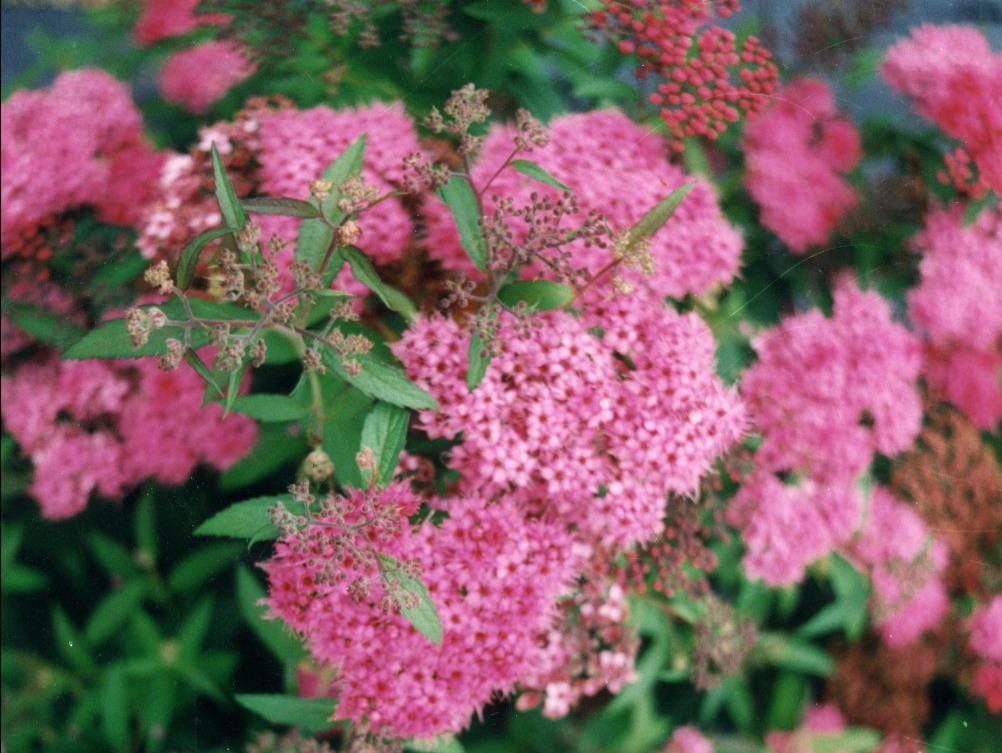 Haie basse de 6 arbustes fleuris - Arbuste fleur rouge printemps ...