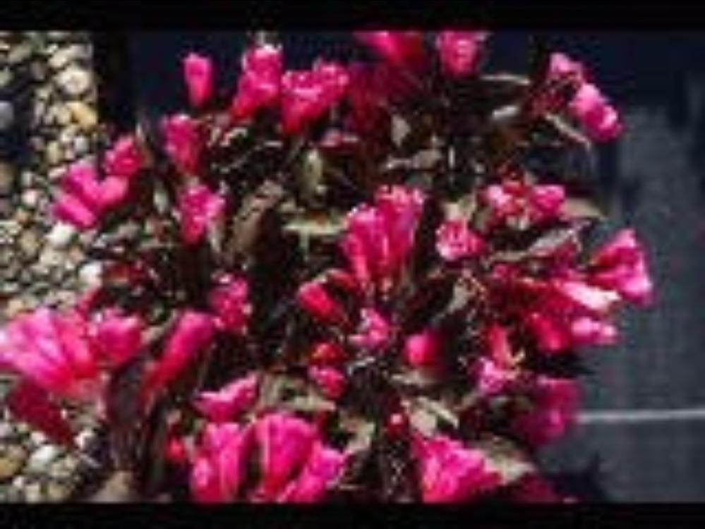 Arbuste pourpre fabulous weigelia weigela foliis purpureis jeune plante en godet weigela - Arbuste feuillage pourpre ...