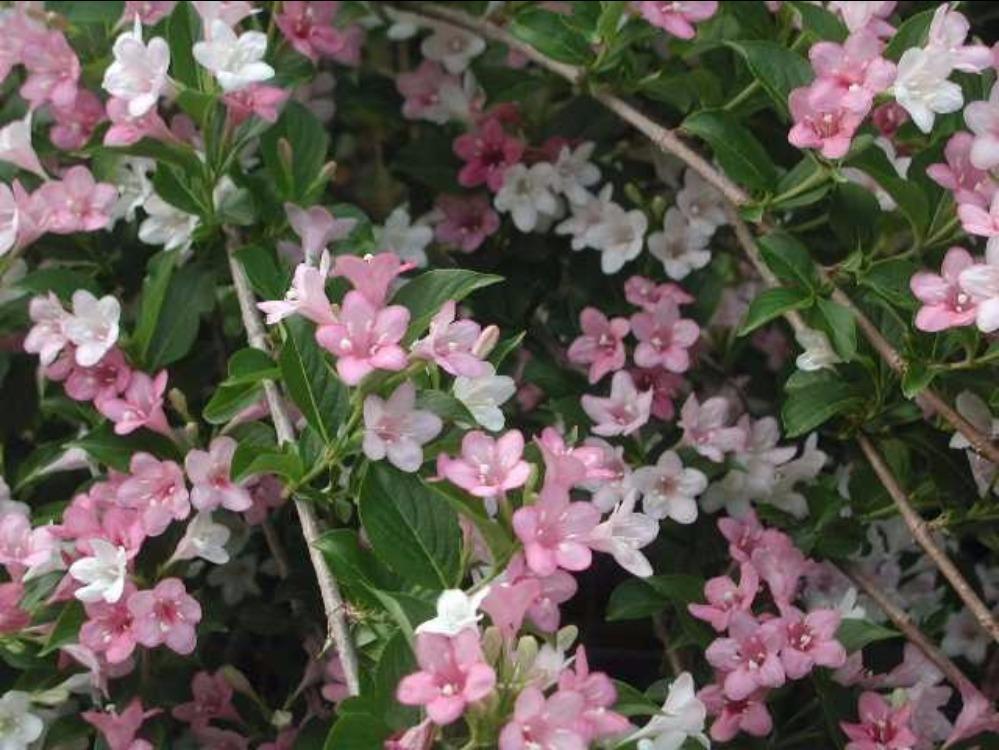 haie de 15 arbustes fleuris vari s caducs et persistants. Black Bedroom Furniture Sets. Home Design Ideas