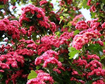 aubépine rouge 'paul's scarlet'