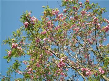 Acacia 'Casque rouge'